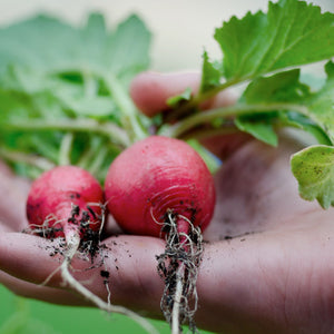 Radish Red Bunched Suffolk