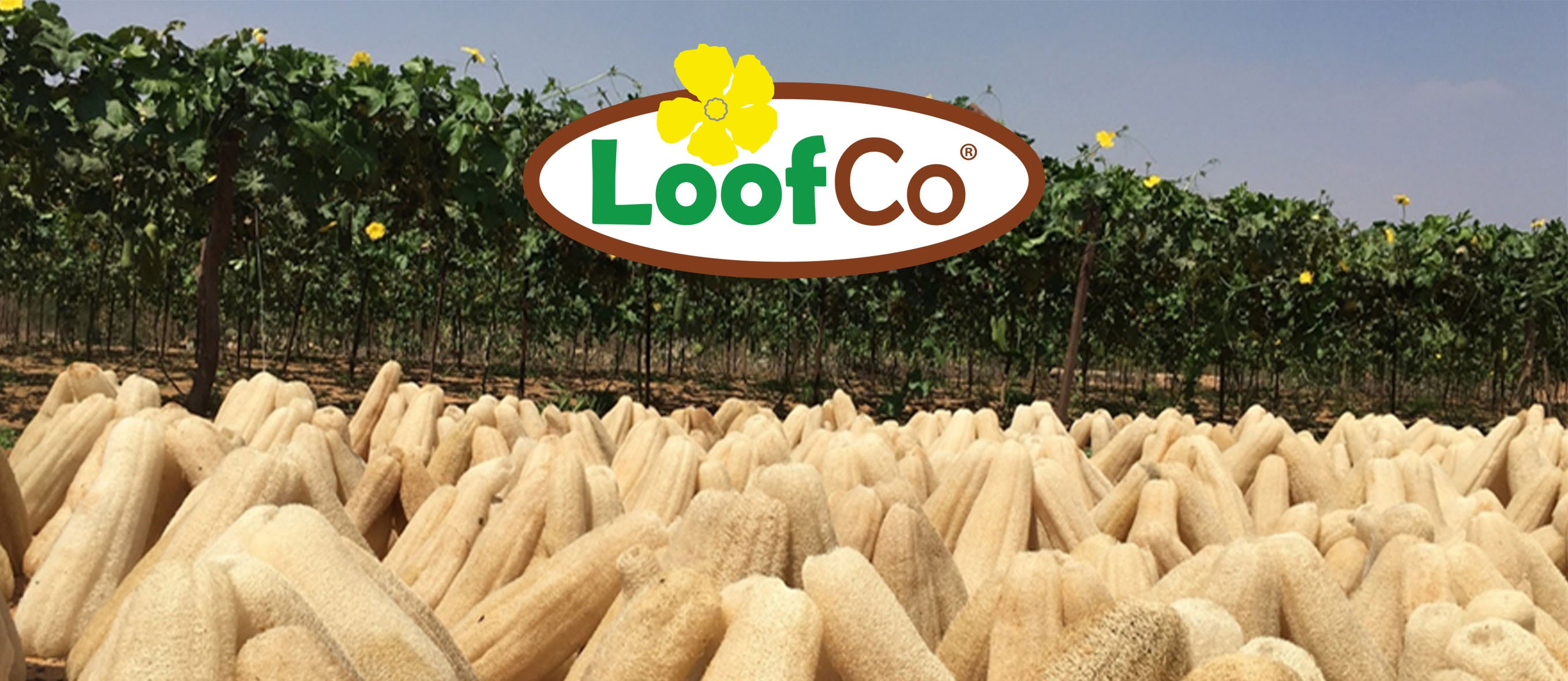 LoofCo loofahs harvested in Egypt