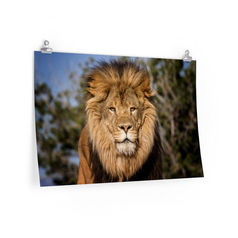 """The Lions Share"" Premium Matte horizontal posters by John Ramer Photography"