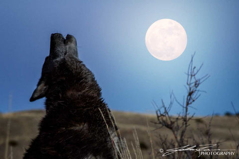 Howl at the Moon by John Ramer Photography