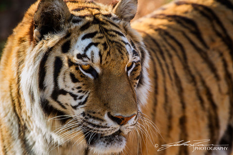 The Tigers Glance by John Ramer Photography