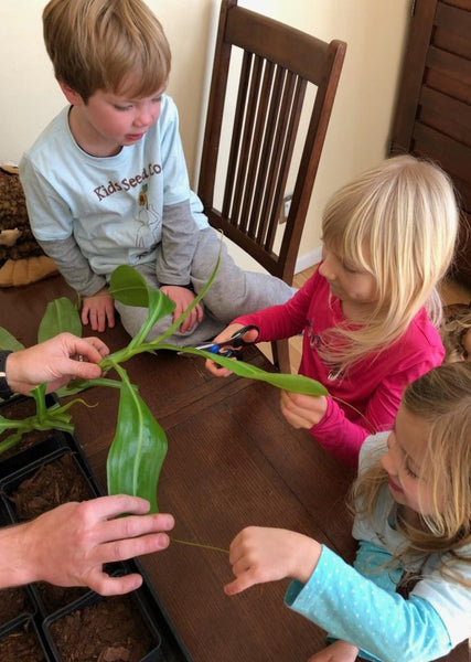 Growing carnivorous plants from cuttings: Indoor garden activities with kids