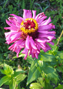 Zinnia (Purple)