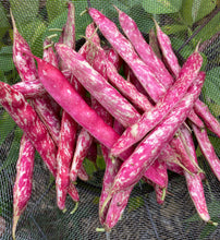 Bean (Borlotti Nano / Tongue of Fire)