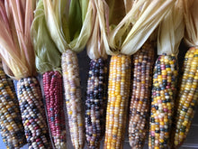Corn (Glass Gem Corn)
