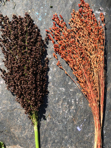 Broom Corn (Sorghum)