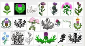 Scotland's Purple Thistle