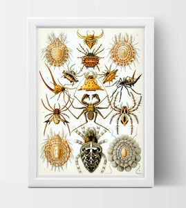 Arachnida Drawing by Ernst Haeckel Poster