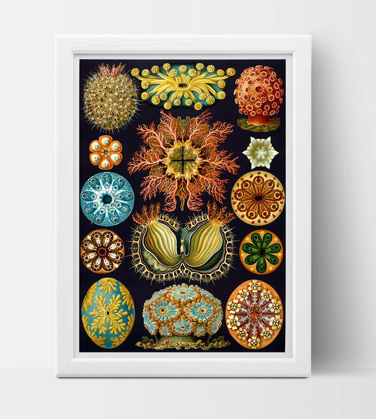 Ascidiae Drawing (1899) by Ernst Haeckel Poster