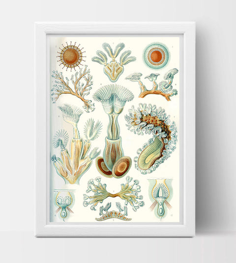 Bryozoa Drawing (1899) by Ernst Haeckel Poster