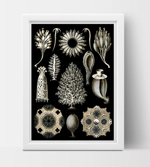 Calcispongiae Drawing (1904) by Ernst Haeckel Poster