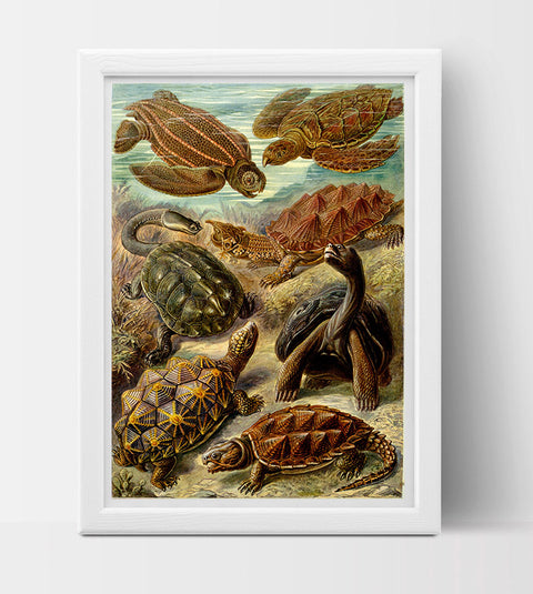 Chelonia (Turtles) Drawing (1904) by Ernst Haeckel Poster