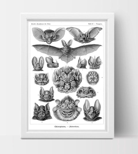 Chiroptera (Bats) Drawing (1904) by Ernst Haeckel Poster