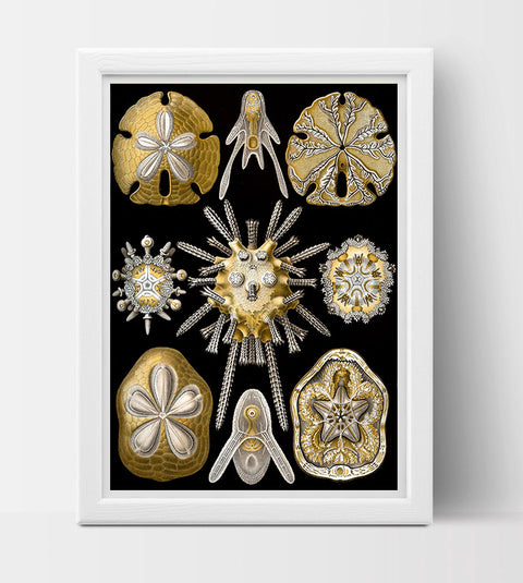 Echinidea Drawing (1899) by Ernst Haeckel Poster