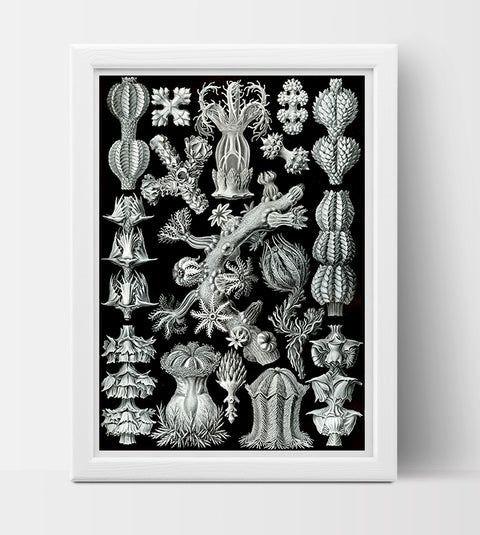 Gorgonida Drawing (1904) by Ernst Haeckel Poster