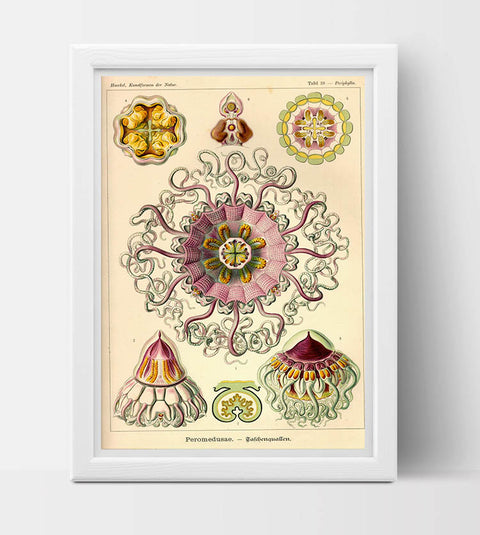 Peromedusae Drawing (1904) by Ernst Haeckel Poster