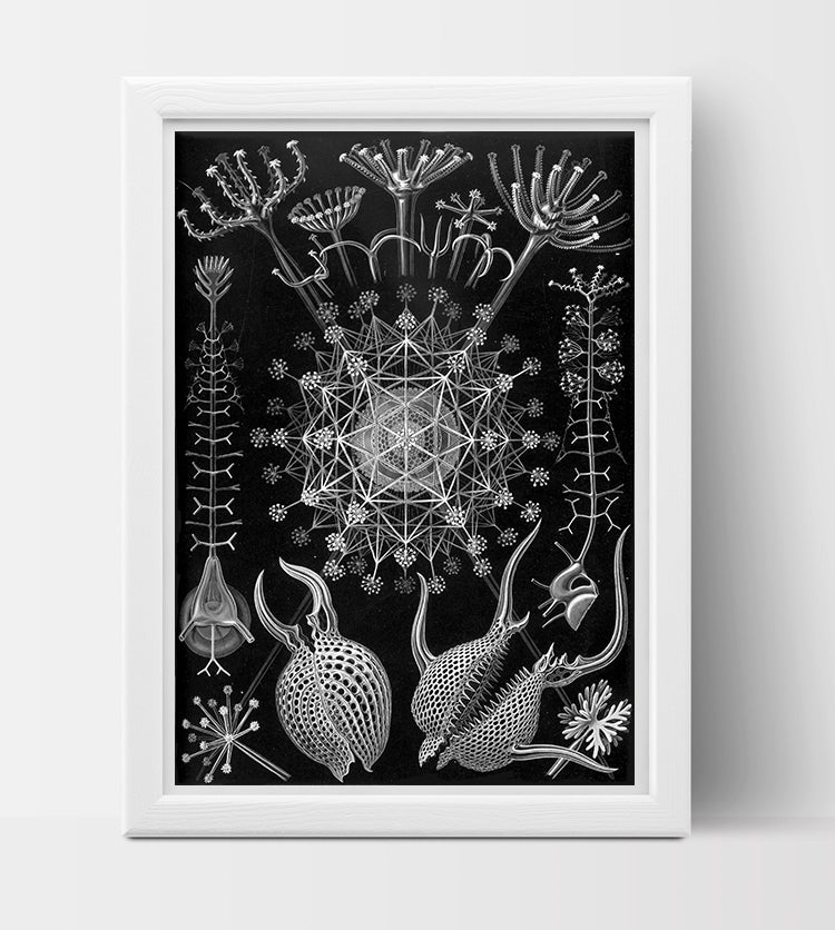 Phaeodaria Drawing (1899) by Ernst Haeckel Poster