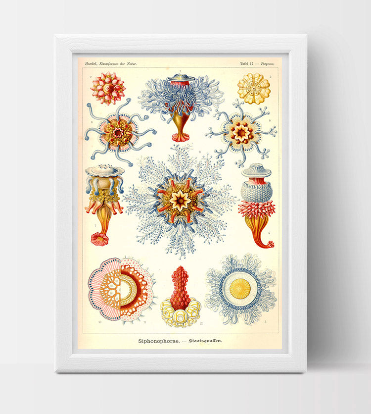 Jellyfish (Porpita Porpita) drawing (1800s) by Ernst Haeckel Poster