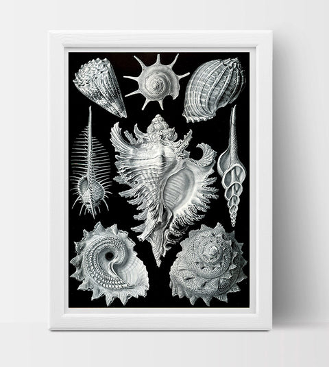 Prosobranchia Drawing (1904) by Ernst Haeckel Poster