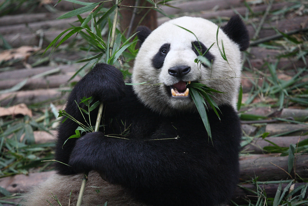 The Giant Panda Epidemic