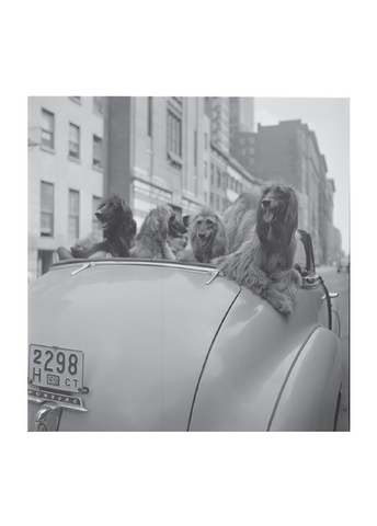 Postcard of Stanley Kubrick photograph of dogs in a convertable