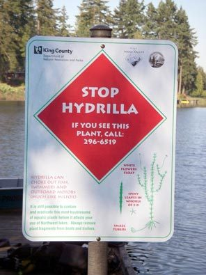 stop hydrilla plants