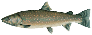Bull-Trout