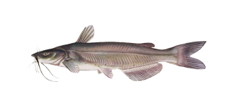 channel_catfish