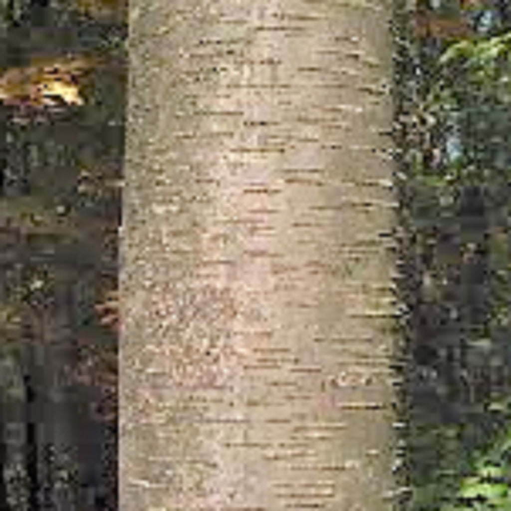 Birch-sweet essential oil,Essential Oils - Karma Suds
