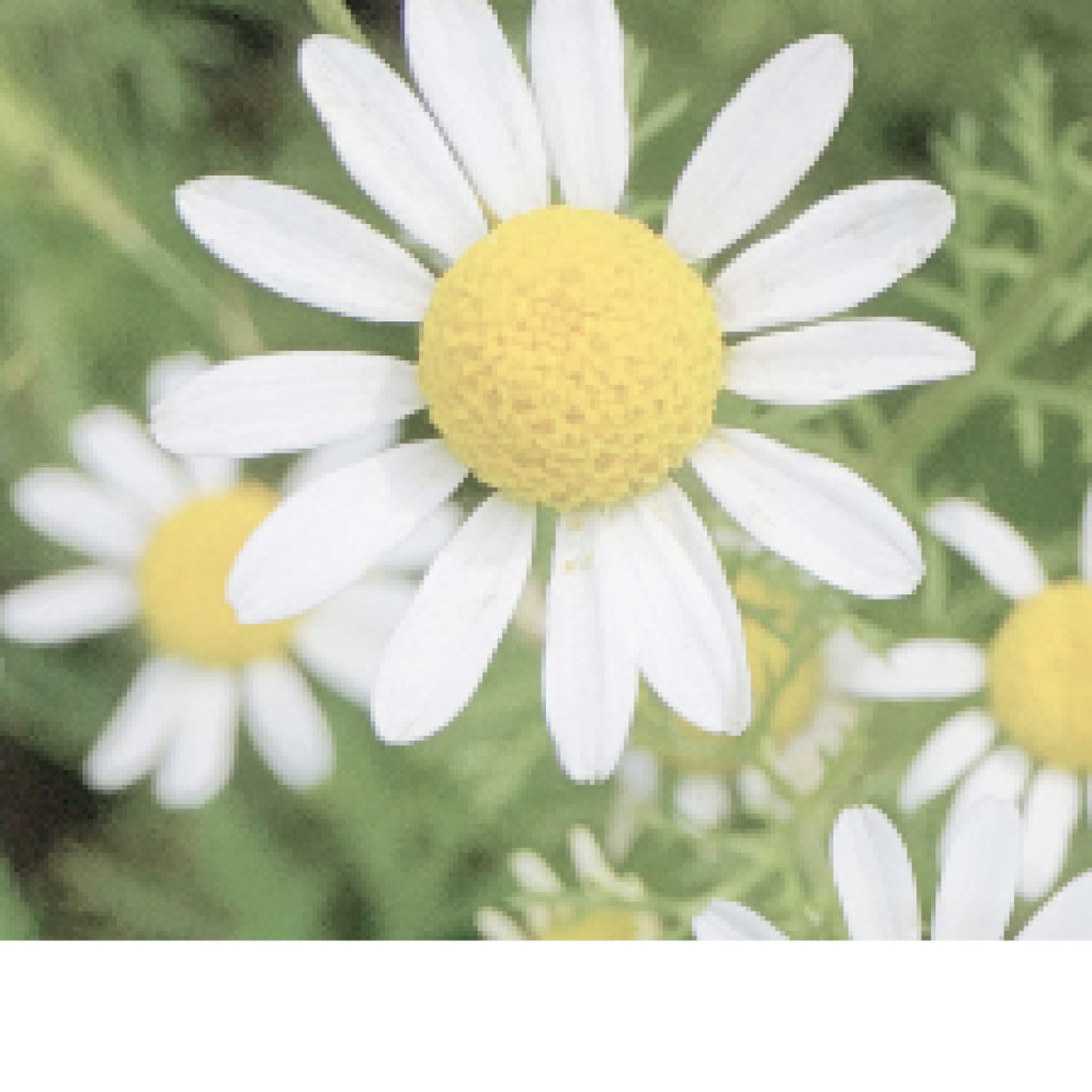 Chamomile - (German) Egyptian essential oil