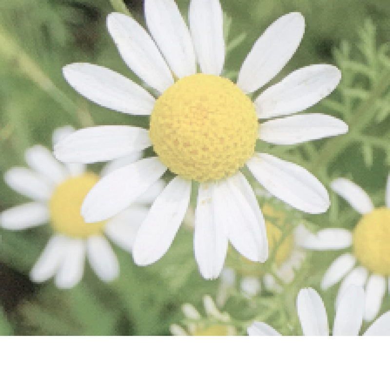 Chamomile - Roman Essential Oil,Essential Oils - Karma Suds
