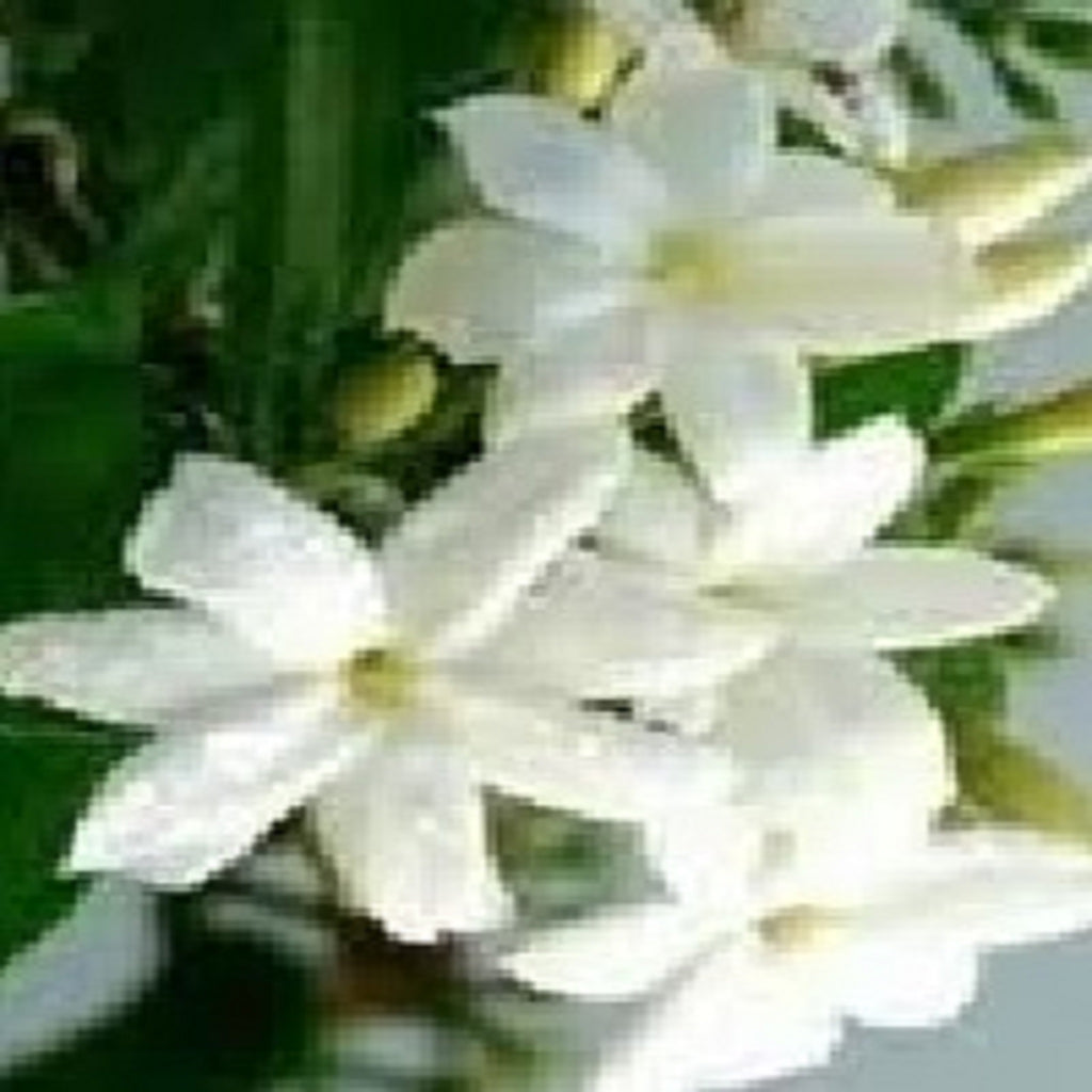 Jasmine Essential Oil,Essential Oils - Karma Suds