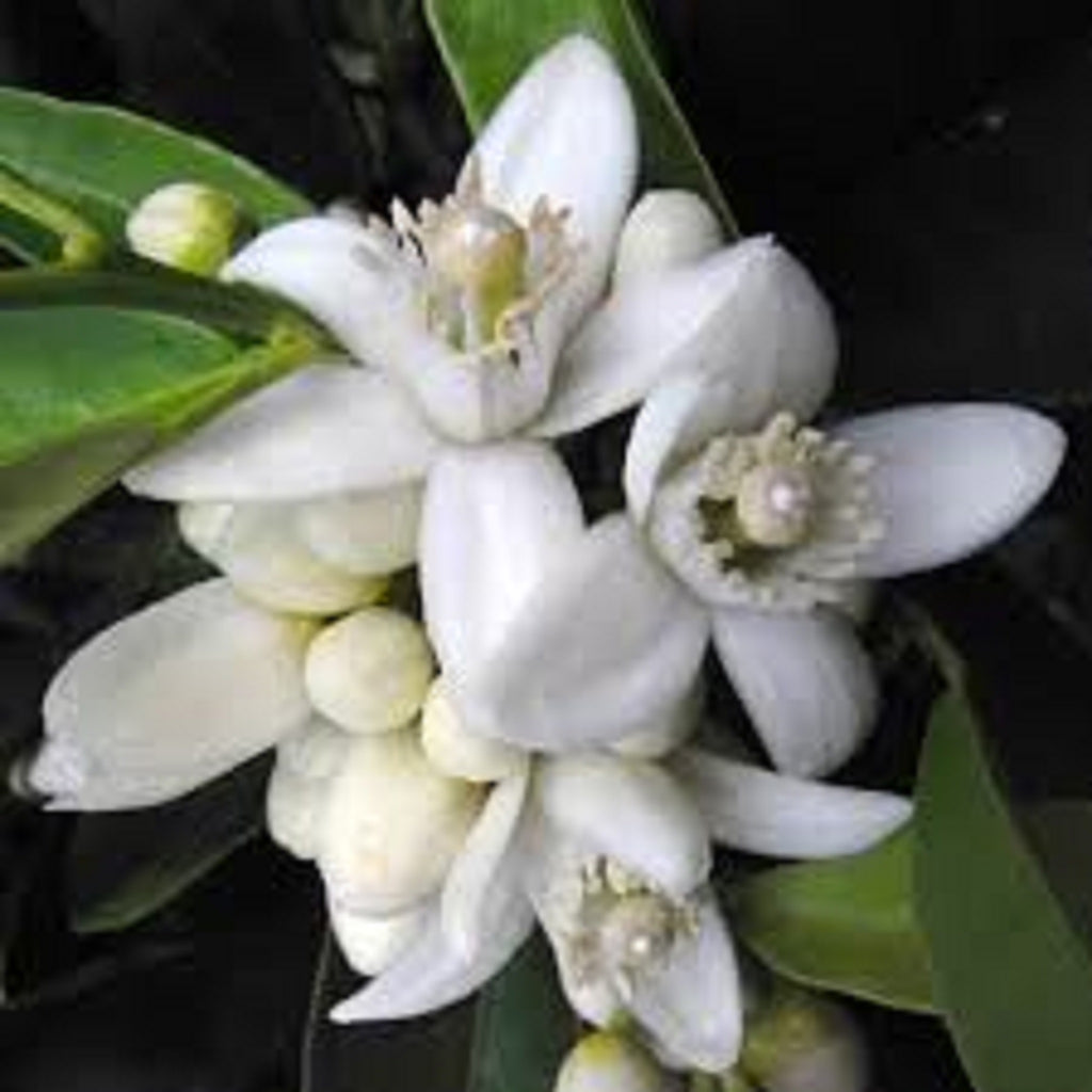 Neroli - African Essential Oil,Essential Oils - Karma Suds