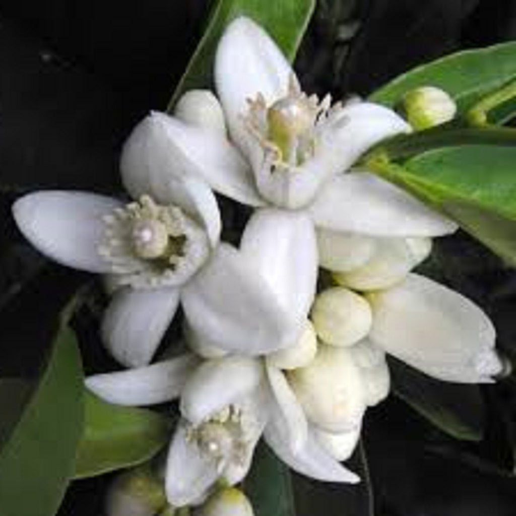 Neroli - Italian Essential Oil,Essential Oils - Karma Suds