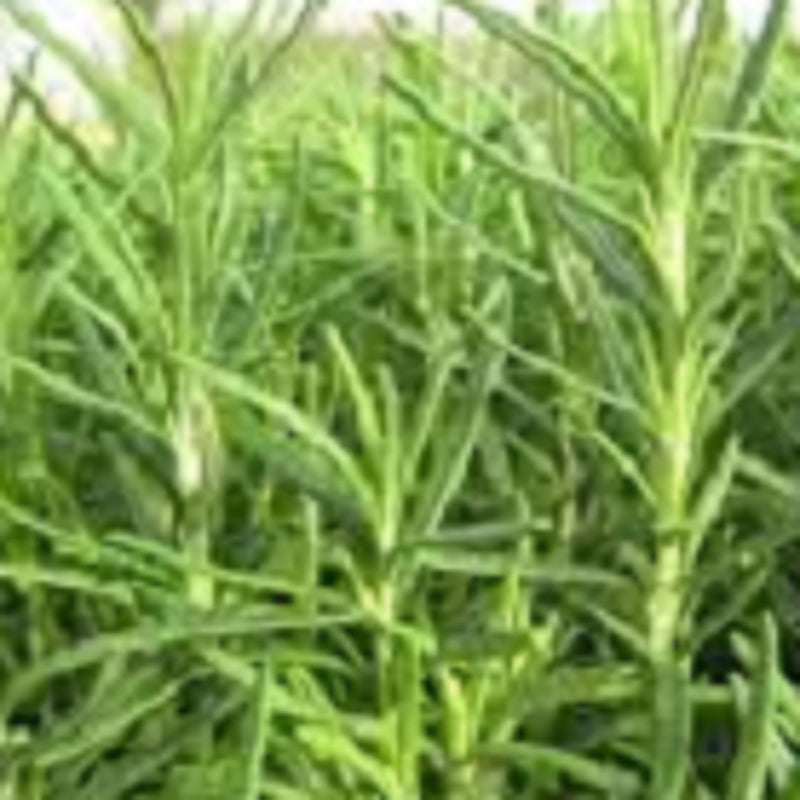Rosemary Essential Oil,Essential Oils - Karma Suds