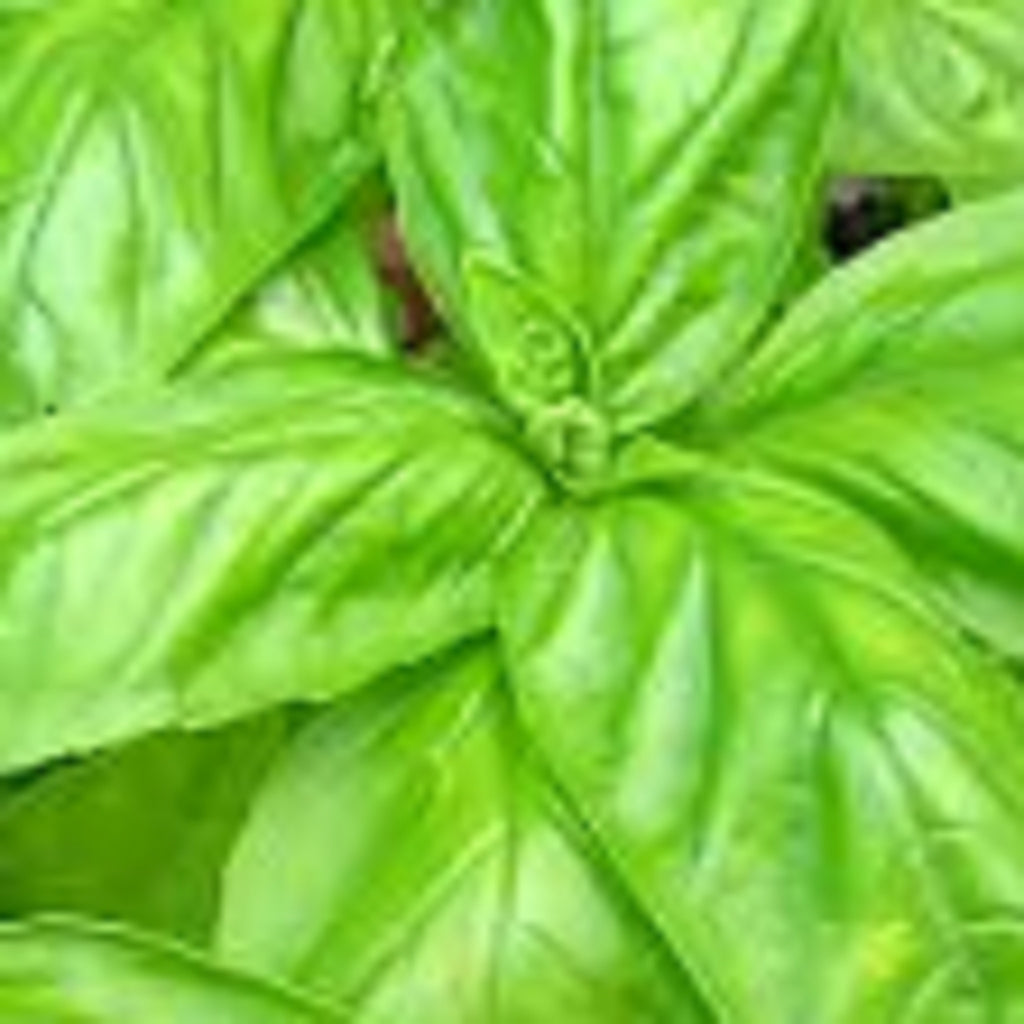Basil - sweet  Essential Oil,Essential Oils - Karma Suds