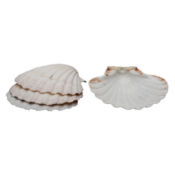 Set of 4 Large Natural Baking Shells