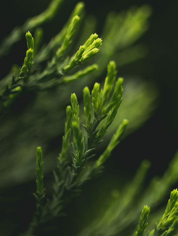 ABIES SIBIRICA NEEDLE (FIR) OIL