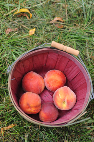 Peach picking at Chile's Orchard