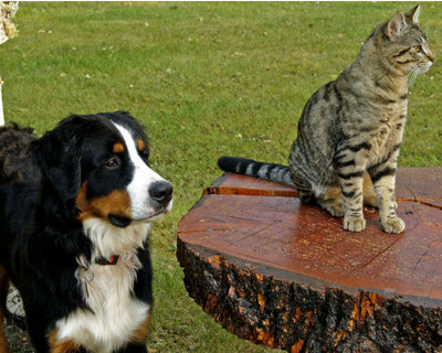 Cats and Dogs: the risks associated with hot weather