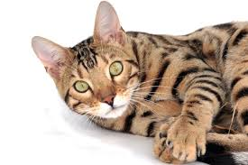 Discover the Bengal cat