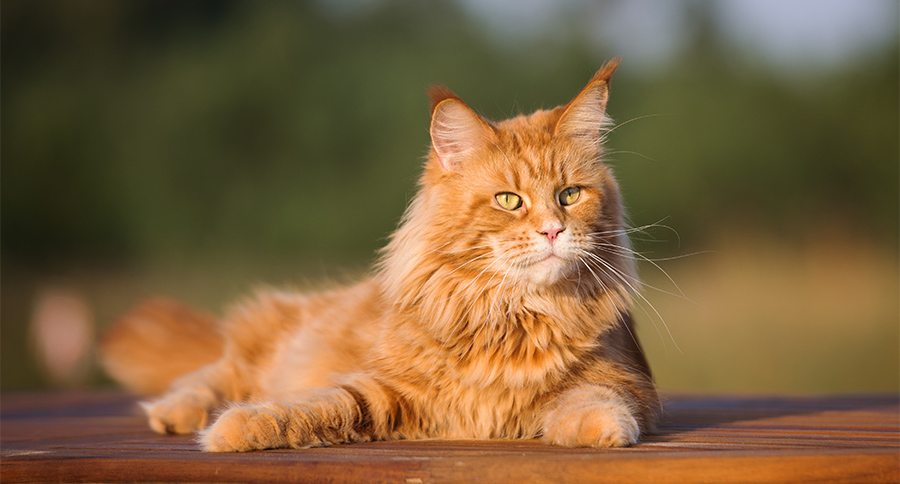 Maine Coon: How well do you know this cat breed?