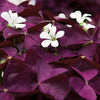 'Charmed Wine' Oxalis PW