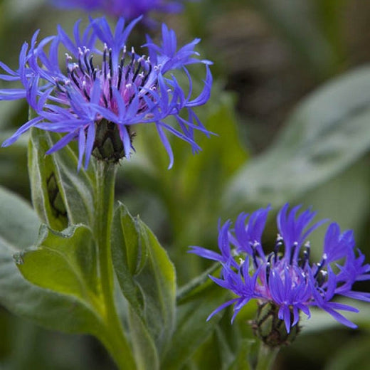 Centaurea Montana - Batchelor's Button