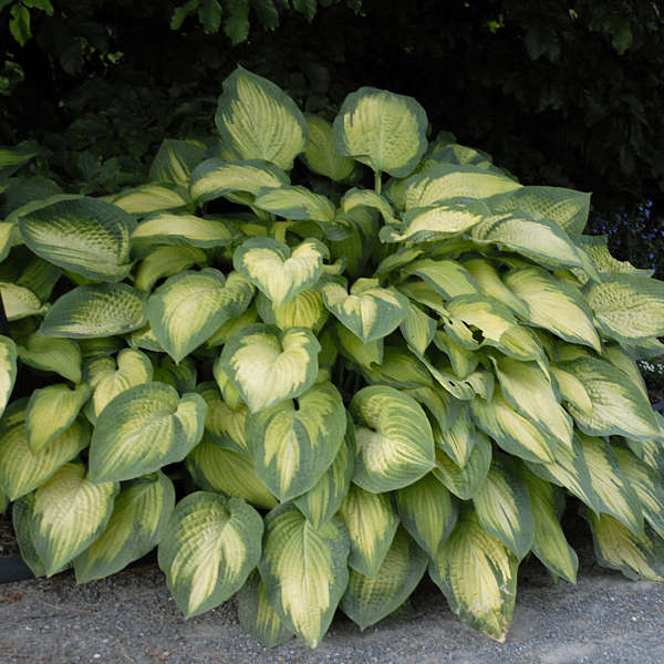'Paul's Glory' Hosta