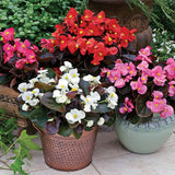Fibrous Begonia  6 pack