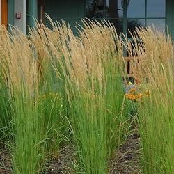 Calamagrostis Acutiflora - 'Feather Reed Grass'