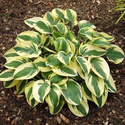 'Wide Brim' Hosta