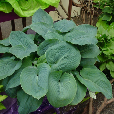 Bressingham Blue Hosta