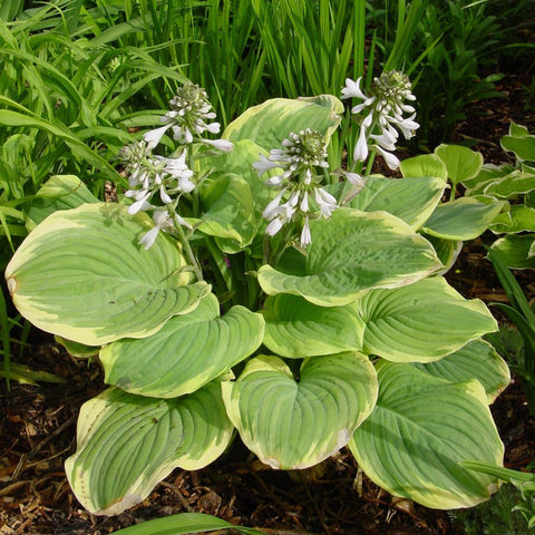 Fragrant Bouquet Hosta